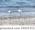 black-headed gull, white, black 39935355