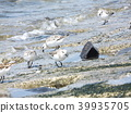 calidris alba, migratory bird, white 39935705