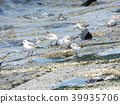 calidris alba, migratory bird, white 39935706