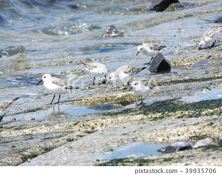 三趾滨鹬 候鸟 白色 39935706