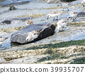 calidris alba, migratory bird, white 39935707
