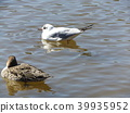 black-headed gull, northern pintail, migratory bird 39935952