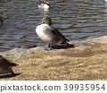 northern pintail, migratory, migratory bird 39935954