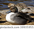 northern pintail, migratory, migratory bird 39935955