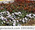 วิโอลา,ดอกไม้,แปลงดอกไม้ 39936062