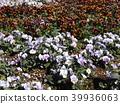 วิโอลา,ดอกไม้,แปลงดอกไม้ 39936063