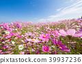코스모스, 꽃, 플라워 39937236