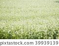 荞麦种 盛开 植物 39939139