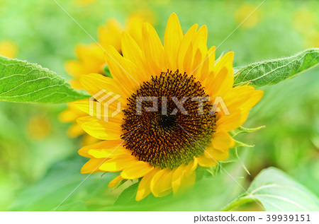 桃園光洋農場向日葵向日葵向日葵 39939151