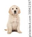 Cute sitting blond golden retriever puppy 39942397