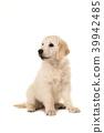 Cute blond golden retriever puppy looking away 39942485