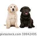 Blond golden retriever and black labrador puppy 39942495