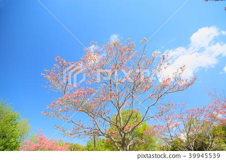봄의 공원 층층 나무 꽃 39945539