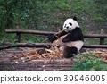 Giant panda eating bamboo - Chengdu 39946005
