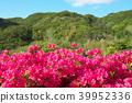 azalea, azaleas, bloom 39952336