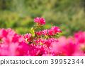 杜鵑花 花朵 花 39952344