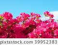 杜鵑花 花朵 花 39952383