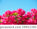 ดอกไม้,ดอกไม้บานเต็มที่,ไม้ 39952385