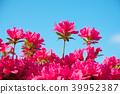 杜鵑花 花朵 花 39952387