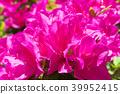 azalea, azaleas, bloom 39952415