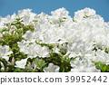 ดอกไม้,ดอกไม้บานเต็มที่,ไม้ 39952442