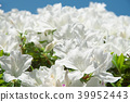 杜鵑花 花朵 花 39952443