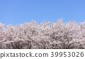 벚꽃 나무 39953026