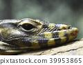 萨尔瓦托尔的巨蜥 蜥蜴 爬行动物 39953865