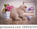 Scotland cat, kitten. Little playful kitten with ball of threads 39958249