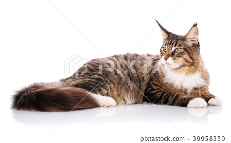 Maine Coon. The largest cat. A big cat. Maine Coon cat 39958350