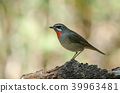 Siberian Rubythroat bird (luscinia Sibilans) 39963481