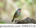 Siberian Rubythroat bird (luscinia Sibilans) 39963516