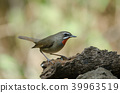 Siberian Rubythroat bird (luscinia Sibilans) 39963519