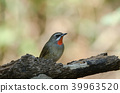 Siberian Rubythroat bird (luscinia Sibilans) 39963520