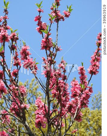 A flower of teltemomo (Akirade peach) in full bloom 39963919