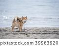 柴犬 丛林犬 狗 39963920