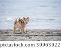 在看照相机的沙滩的逗人喜爱的什巴Inu 39963922