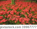 cluster amaryllis, red spider lily, bloom 39967777