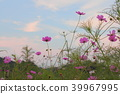 大波斯菊 花朵 花 39967995
