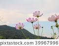 大波斯菊 花朵 花 39967996