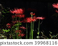 red spider lily, cluster amaryllis, equinoctial week 39968116