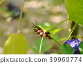 caterpillar climbing and feeding on butterfly pea  39969774