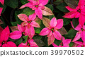 Red poinsettia plant in a garden. 39970502