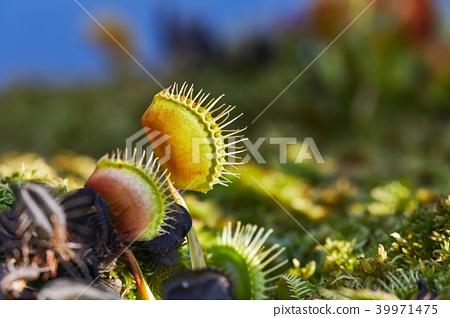 Venus flytrap carnivorous plant 39971475