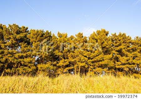 소나무,마시안해변,중구,인천시 39972374