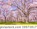만개 한 벚꽃 꽃놀이 39973817