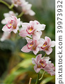 Orchid flowers 39973932