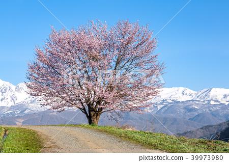 One cherry tree of Nodaira 39973980