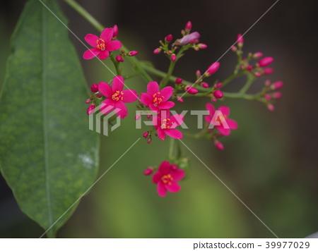 열대 아메리카; 카리브 해안; 페루; 난요우사쿠라; Jamaican Cherry 39977029
