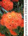 도금양과, 유칼립투스, 식물 39981236